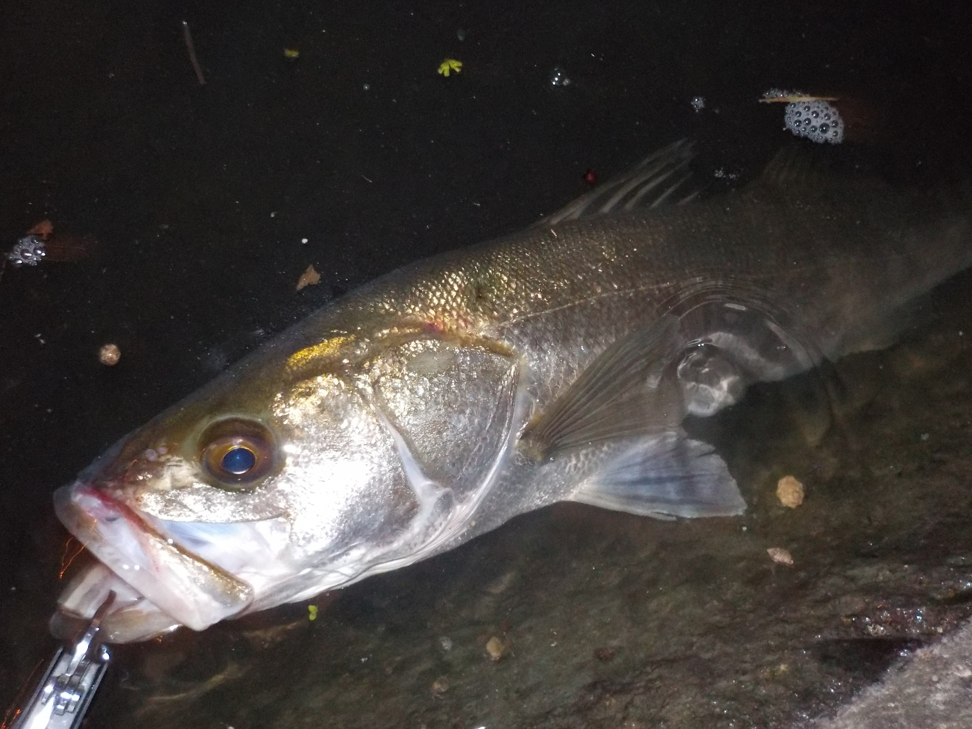 シーバスは冬の河口だと釣りやすい?ルアーやポイントを紹介
