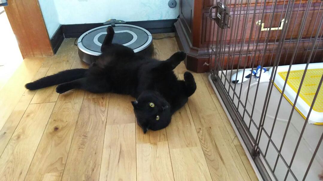 猫が掃除機を嫌いな理由とは?慣れさせる方法について