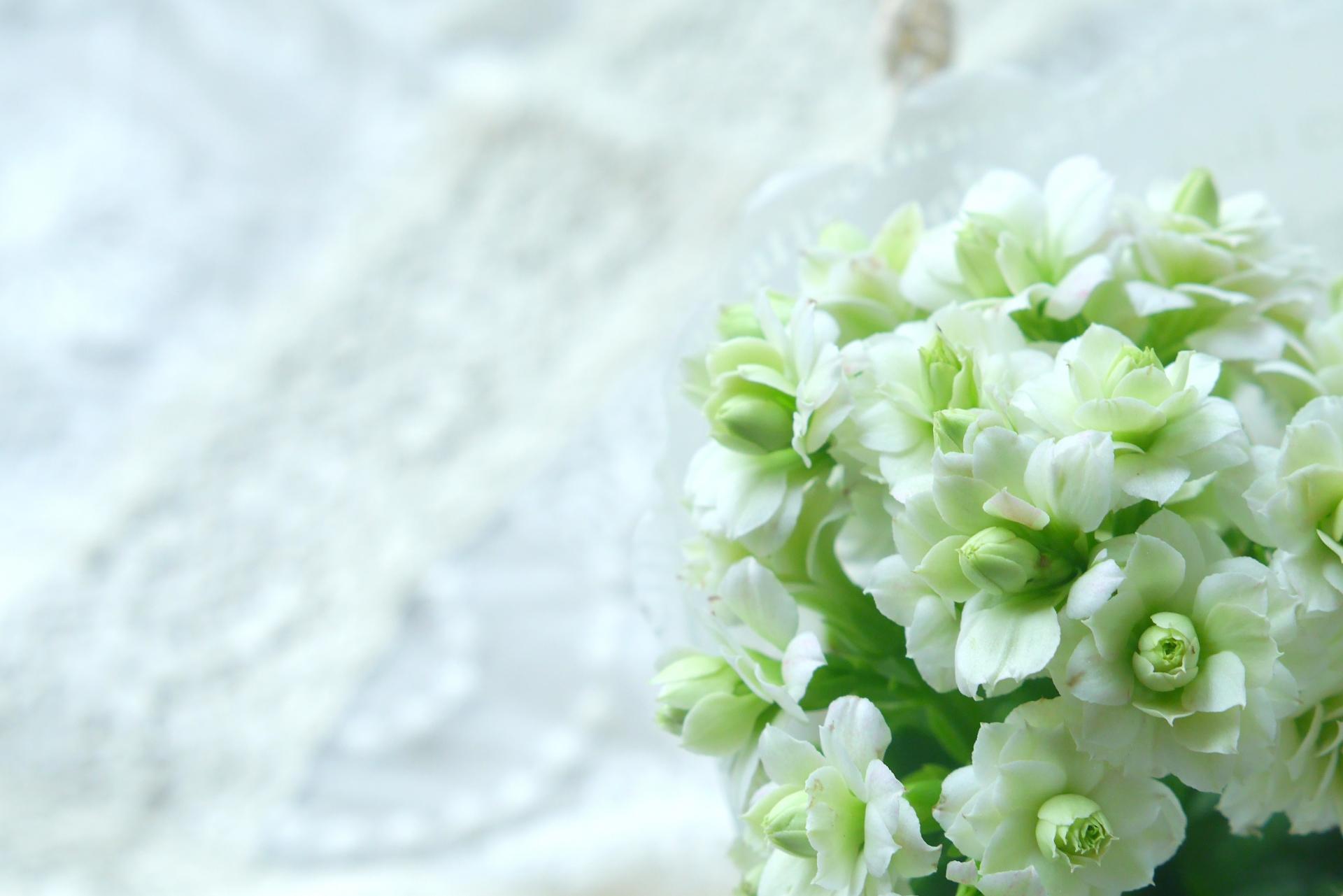 花が咲かないのはなぜ?カランコエの育て方のポイント