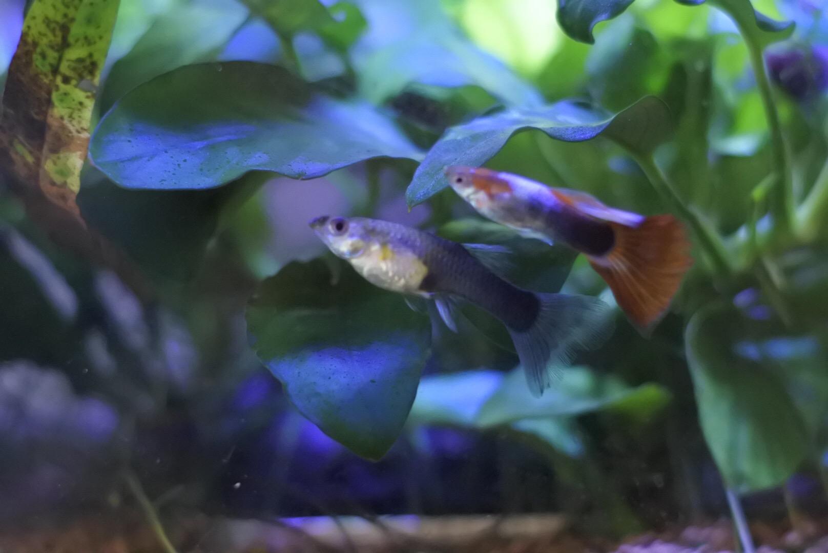 グッピーの稚魚を混泳させても大丈夫な時期!混泳させるポイント