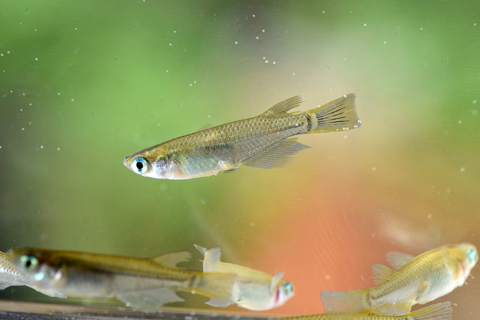 メダカの稚魚にゾウリムシを与える方法とゾウリムシの増やし方