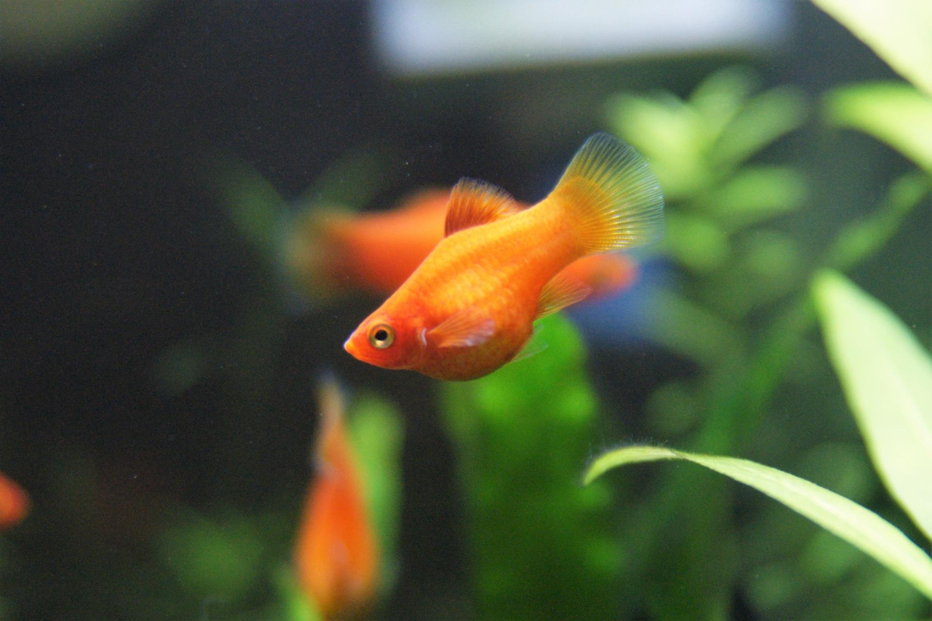プラティの稚魚の育て方!出産や餌・飼育環境・成長速度と注意点
