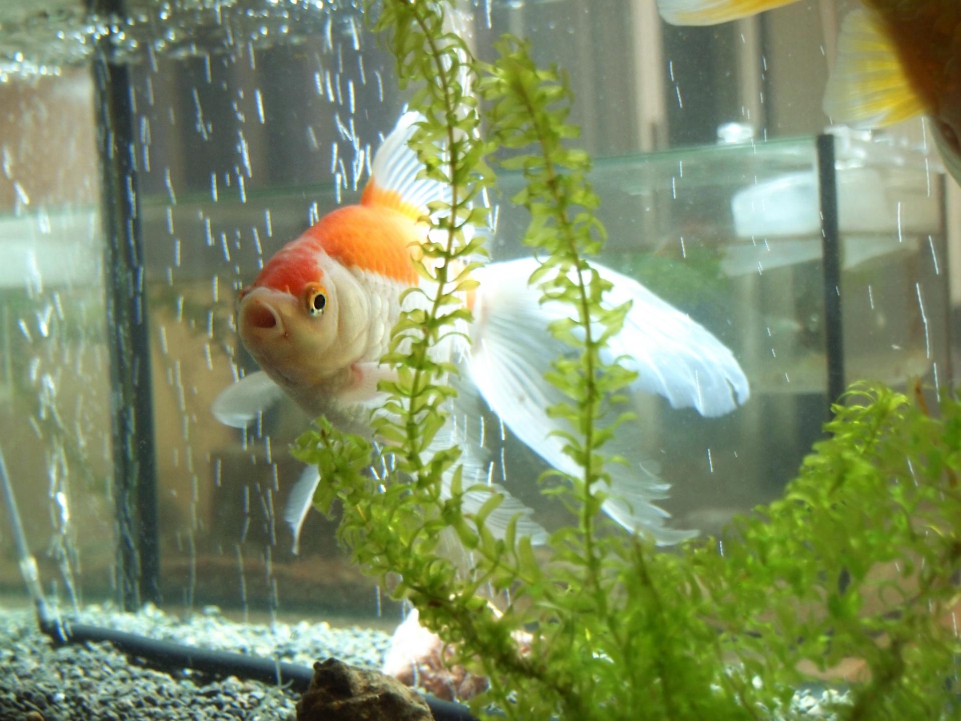 金魚の水槽の掃除の仕方!掃除の頻度と掃除の便利アイテム